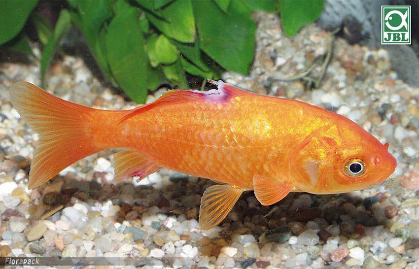 Az összes halamon piros foltok vannak és harapdálják egymást. Miért?